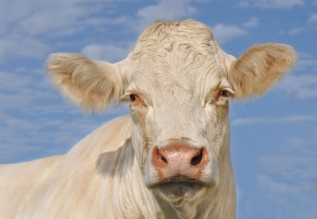 Head of a Charolais cow front view under blue sky