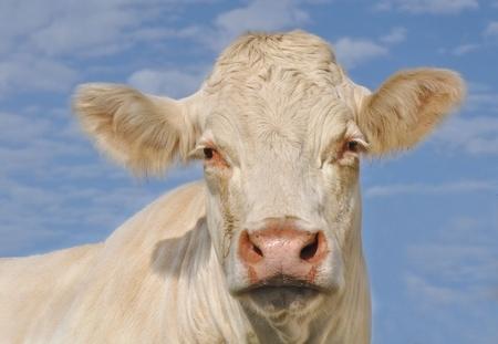 Kopf eines Charolais Kuh Vorderansicht unter blauem Himmel Standard-Bild - 11293922