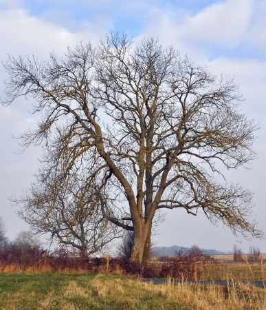 ash tree: silhouette of a large ash tree leafless with frail branches