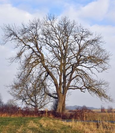 silueta de un árbol sin hojas ceniza grande con ramas frágiles