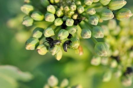 kleine kevers op knoppen nog groen van canola