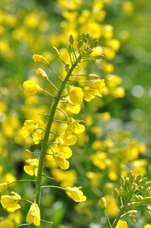 canola flower blossoming in a field