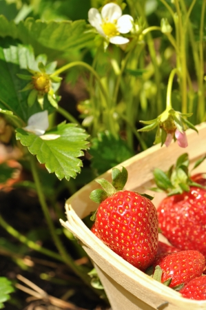 strawberries harvested from the strawberry plants Stock Photo - 13712573