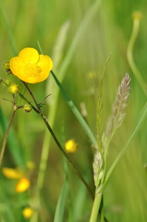 buttercups: wild buttercups on a green background Stock Photo