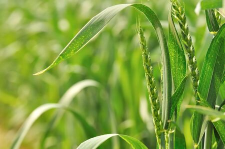 ears of corn still green among the leaves in a field Stock Photo - 13774395