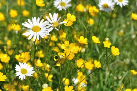 buttercups and daisies in a grassland Stock Photo - 13846956