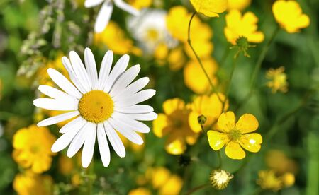 closeup on a daisy with buttercups in a bolossomming grassland Stock Photo - 13846952