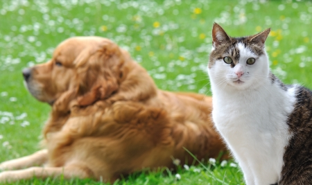 dog cat: eyes of a cat in front of a golden retriever lying in the garden Stock Photo