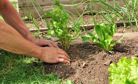 Hände eines Mannes geht, einen Gemüsegarten zu pflanzen Kräuter in Standard-Bild - 13978789