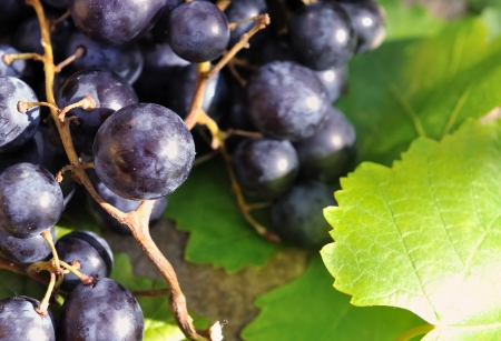 closeup on bunch of black grapes on wooden board  photo