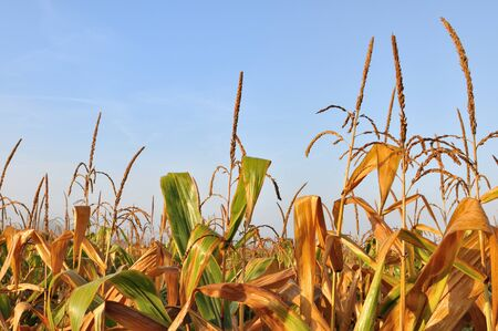 golden leaves of maize under cloudy sky photo