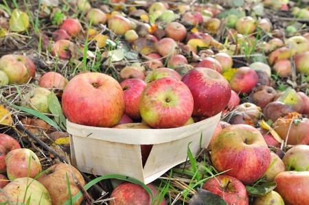 botar basura: manzanas para sidra producci�n tirar basura al suelo de un huerto Foto de archivo