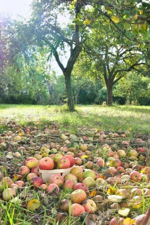 botar basura: manzanas que cubr�an el suelo de un Orchad Foto de archivo