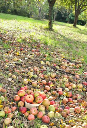 tirar basura: manzanas que cubr�an el suelo de un Orchad Foto de archivo
