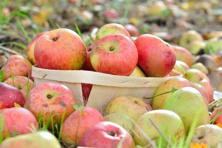 botar basura: manzanas en una canastilla, entre otros ensuciando en el suelo de un huerto
