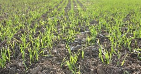 field of seedlings of cereals  soft green photo