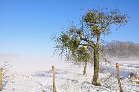 an old apple tree in a snowy landscape on a beautiful winter day Stock Photo - 16262477