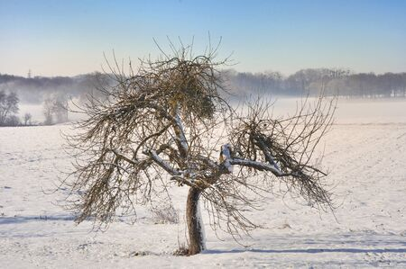 an old apple tree in a snowy landscape on a beautiful winter day Stock Photo - 16262483