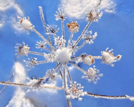 rigorous: una delicata vegetazione coperta da gelo sotto il cielo blu