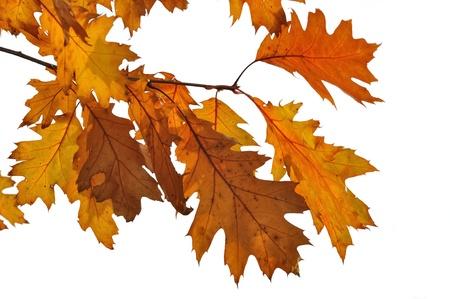 Golden Oak Blätter auf weißem Hintergrund Standard-Bild - 16262532