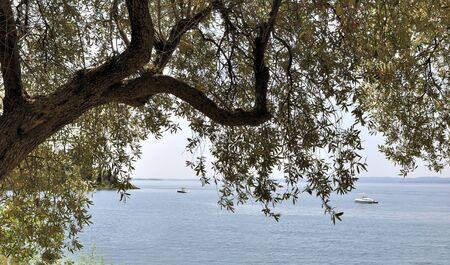 olive tree leaf in front of a lake photo