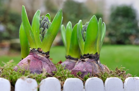 close on flowering hyacinths in a flower pot outdoor  photo
