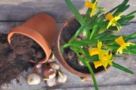 narcissen en tulpen in een pot vernietigd op een houten bord Stockfoto
