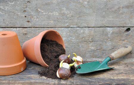 Keimung von Tulpenzwiebeln in einen Topf mit Blumenerde hob mit einem dibble Standard-Bild - 17905138