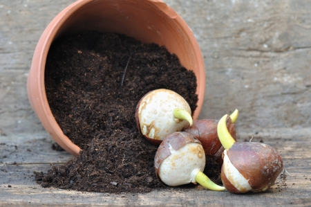 overturned: germination of tulip bulbs in a pot of potting soil overturned
