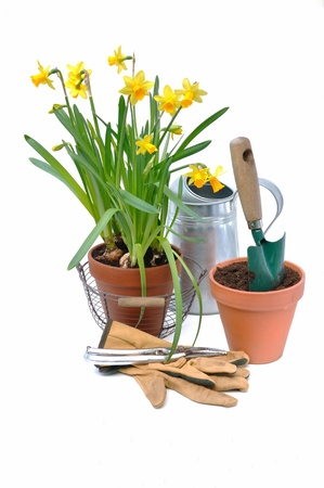 Potted daffodils with garden tools on white background