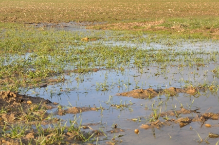 wheather: wheat fields covered with puddles Stock Photo
