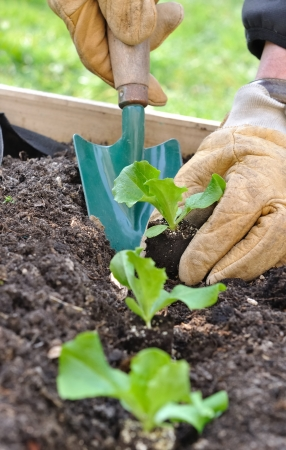 composting: close on the hands of a man planting seedlings salad in a vegetable garden  Stock Photo
