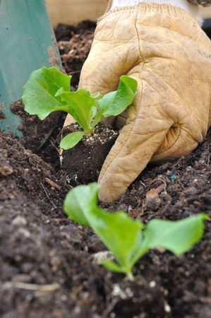 close on the hands of a man planting seedlings salad in a vegetable garden  photo