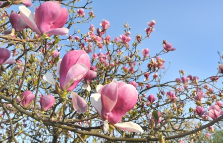 flowering of a beautiful magnolia flowers in blue sky background Stock Photo - 19284495