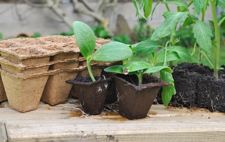 biodegradable: various seedlings with biodegradable pots on a plank outdoor Stock Photo