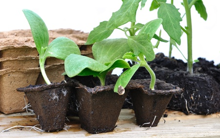 biodegradable: various seedlings with biodegradable pots on a plank