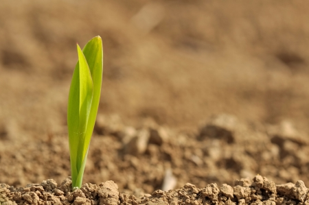 closeup of a young sprout of corn in a field photo