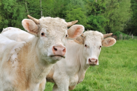 heifers: Young Charolais heifers cows in a meadow