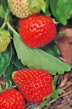 beautiful ripe strawberries on a vegetable garden