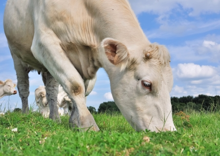 close up of a cow grazing in the meadow grass Standard-Bild