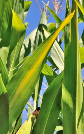 yellowing: maize leaves verdant and yellowing under the sun