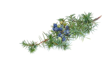 juniper branch with berries on white background 写真素材