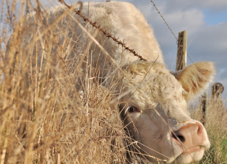 cattle wire wires: closeup of the head of a cow between the wire