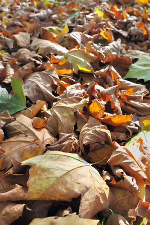 dead leaves: hojas secas de oto�o que forman una alfombra en el suelo Foto de archivo