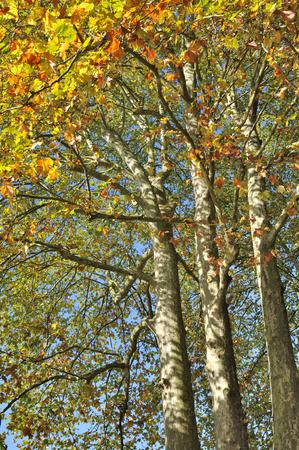 プラタナス: 彼ら秋の葉の大きなプラタナス