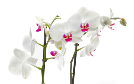 graceful pink and white orchid on white background Stock Photo