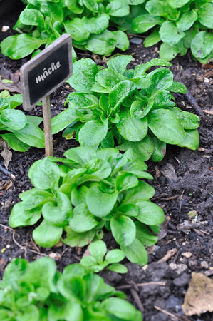 row of salad plants in vegetable garden  photo