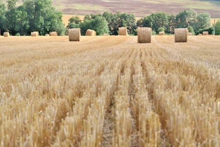 hay bales: straw bales  harvested in a  field