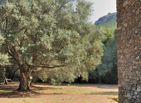 centenarian: big and old olive tree