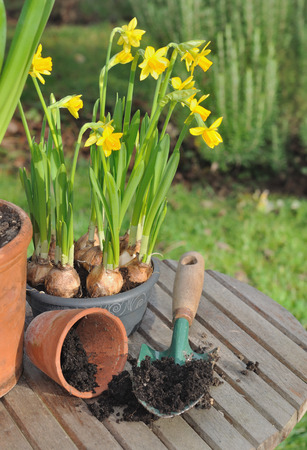 narcissus in pot and garden tool Repotting